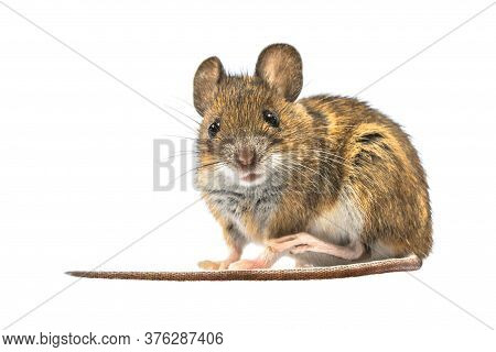Scared Wood Mouse (apodemus Sylvaticus) Isolated On White Background. This Cute Looking Mouse Is Fou