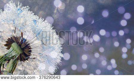Beautiful Dew Drops On Dandelion Seed Macro. Beautiful Soft Blue Background. Water Drops On Parachut