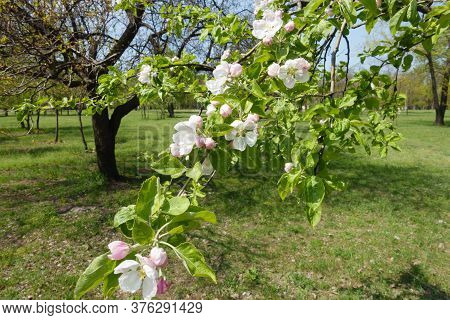 Florescence Of Apple Tree In Orchard In April