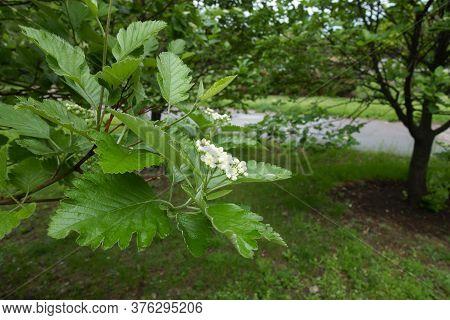 Cymose Corymb Of Sorbus Aria Tree In Mid May