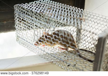 Selective Focus To Rat Eye In A Cage At Home Or Office.