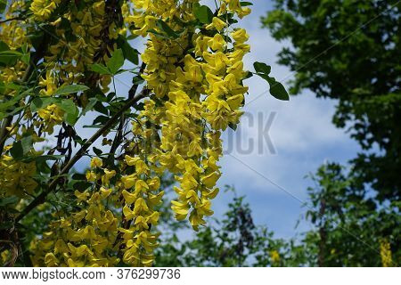 Florescence Of Laburnum Anagyroides Bush Against Blue Sky In Mid May