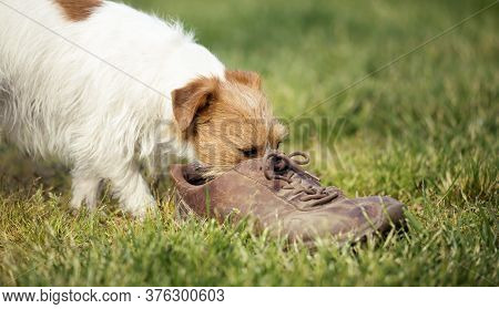 Jack Russell Terrier Naughty Dog Puppy Sniffing A Smelly Shoe In The Grass. Pet Training Concept.