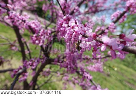 Honey Bee Pollinating Flowers Of Cercis Canadensis In April
