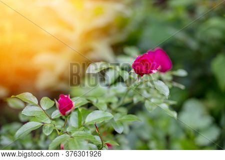 Lovely Red Flowers. Red Roses. Garden Roses With Green Leaves. Flowers Buds Of Roses. Closed Pink Pe