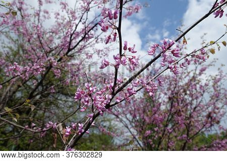 Thin Branches Of Blossoming Cercis Canadensis Against The Sky In May