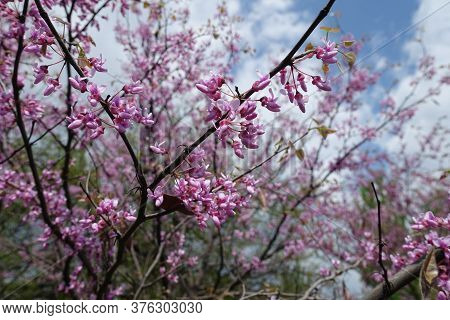 Twig Of Blossoming Cercis Canadensis Against The Sky In May