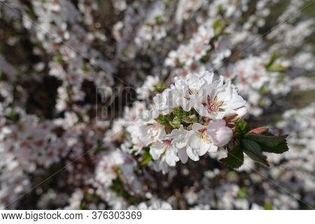 Blossom Of Prunus Tomentosa In Early Spring