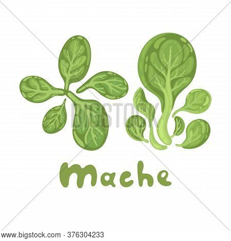Mache. Green Salad Leaves. Vector Vegetarian Healthy Food Isolated On White Background. Leafy Vegeta