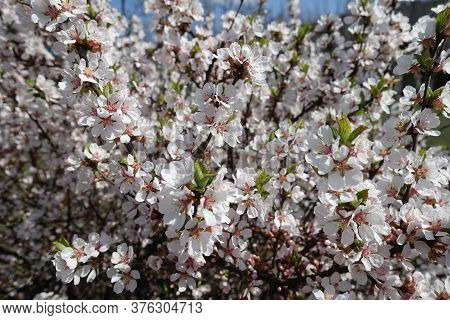 Dozens Of Pinkish White Flowers Of Prunus Tomentosa In April