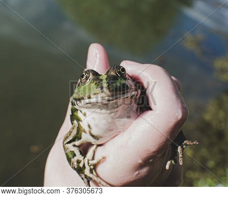 Caught Lake Frog In The Hand, Species Pelophylax Ridibundus, Female, The Largest Frog In Russia