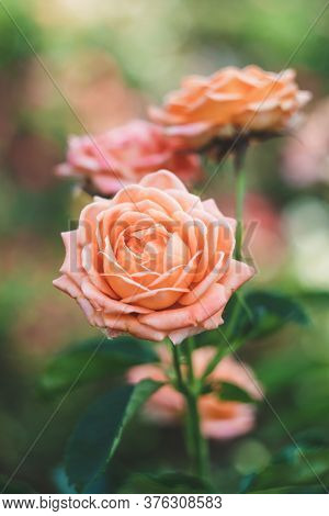 Shrub Roses In The Garden, Colorful Nature Background. Floral Wallpaper. Selective Focus. Rose Bush,