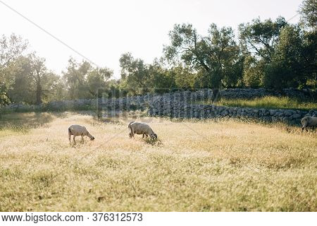 Two Sheep Graze In The Grass Near The Olive Grove.