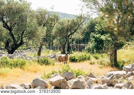 The Horned Sheep Grazes In The Olive Grove.