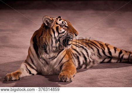 A Circus Tiger Lies At Arena And Grins