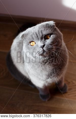 The Gray Cat Sits Beautifully And Happily On The Floor In The Room.