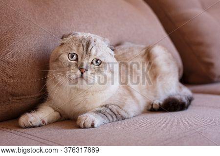 Portrait Of A Scottish Fold Cat. Gray Cat With Beautiful Patterns.