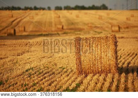 Bales Of Harvested Dry Straw On A Dry Yellow Wheat Field Harvested