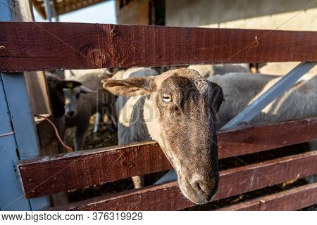 A Sheep Peeks Out From A Cattle Pen In The Rays Of The Evening Sun. Muzzle Close-up. Horizontal Orie