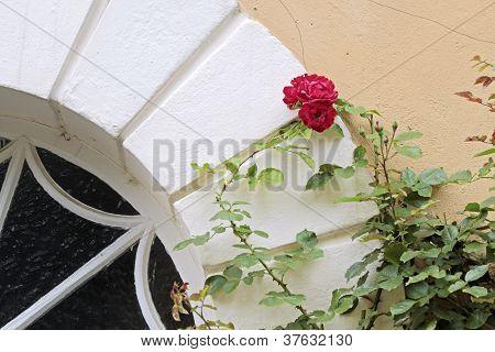 Climbing roses in the courtyard of Palace of Johannisberg Rheingau Hesse Germany poster