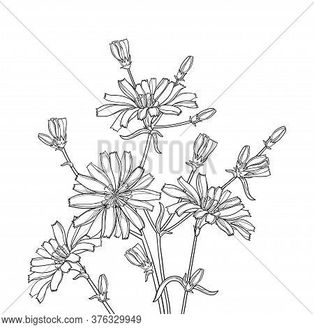 Vector Bouquet Of Outline Chicory Or Cichorium Flower, Bud And Ornate Leaves In Black Isolated On Wh