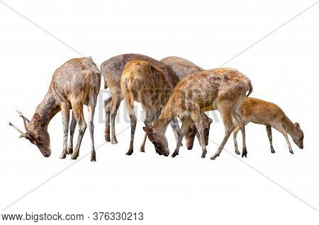 Baby Deer Isolated In White Background Baby Deer Isolated