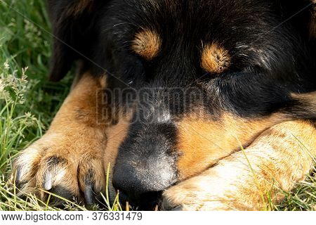 Muzzle Of A Dog Sleeping On The Grass. Selective Focus.