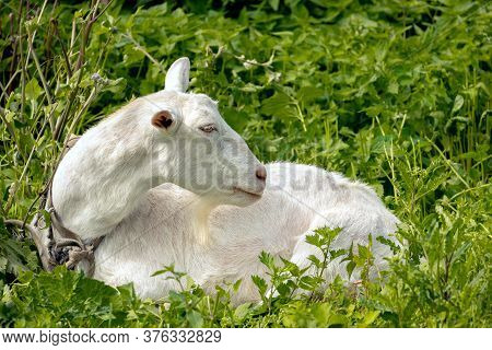 Goat In The Meadow Lies In The Right, Graze The Goat In Summer, Goat Milk
