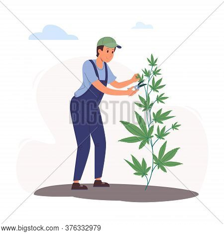 A Worker Cuts Leaves On A Hemp Bush Using A Pruner. Vector Illustration Of Cultivating Cannabis In F