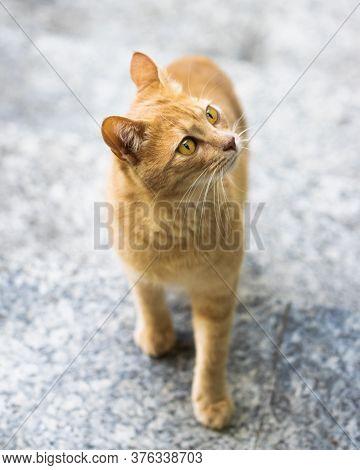 Beautiful Yellow Orange Cat, Standing, With Bright Background, Yellow Eyes
