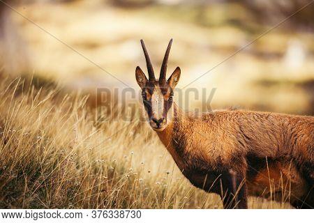 Wild Chamois In Abruzzo, Apennines, Italy