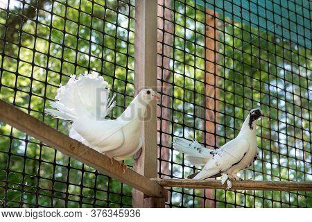 The Pigeons In His Loft. Breeding Of Domestic Pedigreed Pigeons