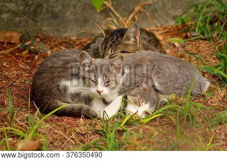 Portrait Of Three Little Domestic Kitties Sleeping On Grass In Garden, Enjoying In Afternoon Sun And