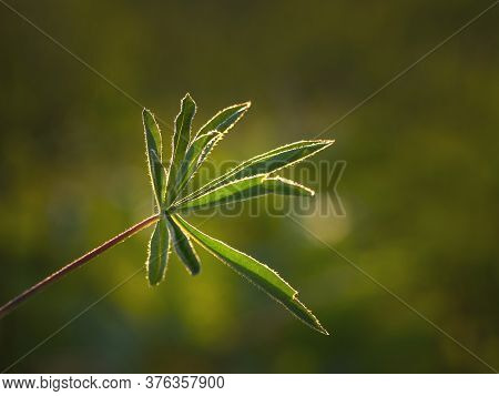 Shadow And Light. Green Openwork Leaf On A Natural Background. A Branch Of Lupine In The Sun.