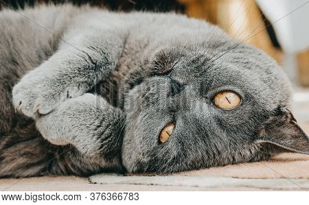 Beautiful British Cat Lying In Funny Pose Upside Down On Carpet Close Up