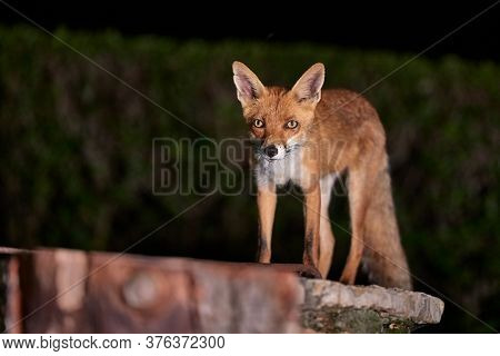 Fox coming to a rural backyard from the woods at night