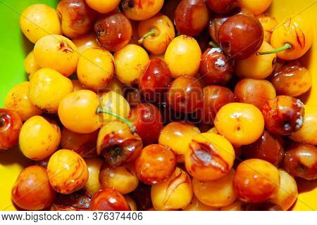 Spoiled And Rotten Yellow Cherries . Inedible Fruits