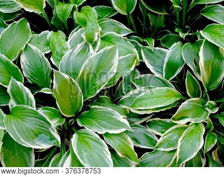 Abstract Decorative Floral Background Of Hosta Leaves