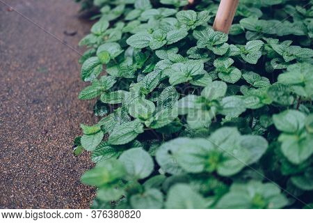 Mint Leaves Growing In Garden. Herbal Spearmint Herb Spice Plant