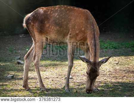 A Sika Deer Female Grazes In A Forest Glade. The Sika Deer, Cervus Nippon, Also Known As The Spotted