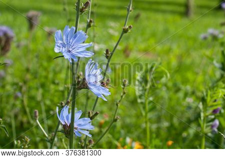 Close-up Of Light Blue Chicory Flowers With A Hoverfly Seeking Pollen