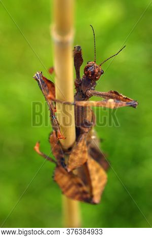 Extatosoma Tiaratum, Commonly Known As The Spiny Leaf Insect, The Giant Prickly Stick Insect, Maclea