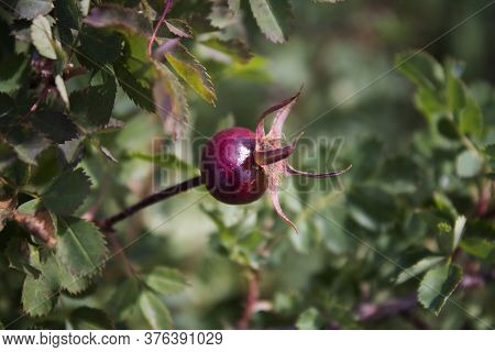 Rose Hip. Rosa Canina. Wild Rose. Rose Hip.
