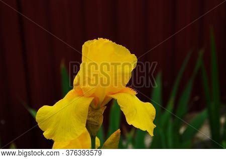 Macro Photo Nature Blooming Bud Flower Iris. Background Opened Bud Of Yellow Iris. Flowers Irises Wi