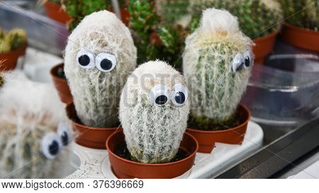 Artificial Eyes On Barrel Cactus. Cactus With Eyes, Cactuses In Flowerpots With Funny Eyes