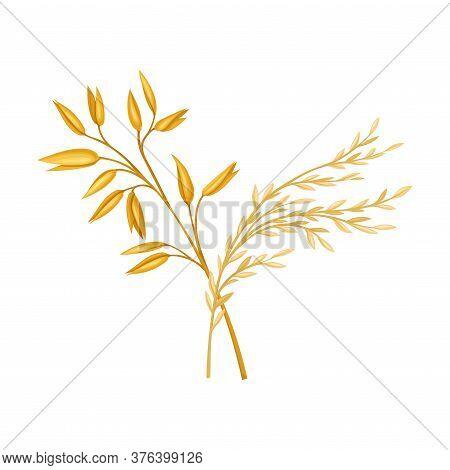 Golden Grain Crop Ear Or Grain Head Vector Illustration