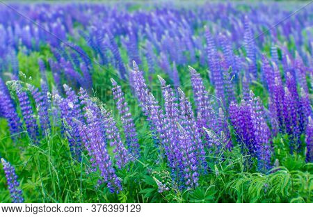 Blurred. Blue Lupin Flowers With White Tops Grow In A Green Meadow. Natural Background.