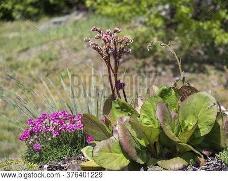 Close Up Blooming Bergenia Or Elephants Ears Flower And Armeria Maritima Known As Sea Thrift Or Sea