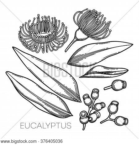 Collection Of Graphic Eucalyptus Flowers And Leaves.