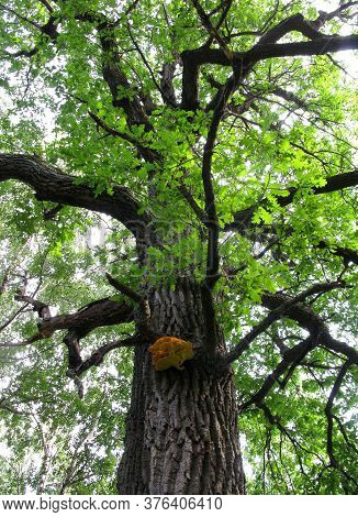 Large Oak Tree With Crooked Branches And Yellow Woody Mushroom